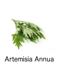 ARMESIA ANNUA